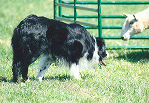 Hotchkiss Sheep Dog Trial